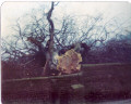 Wet Ings Lane Beech Tree 1979
